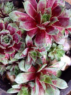 Sempervivum 'Jungle Fire' - Spring coloring.