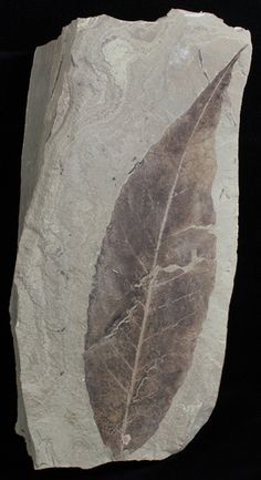 Fossil Allophylus flexifolia Leaf - Green River Formation (Item #2321), Green River Formation Plant Fossils for sale.  FossilEra your source to quality fossil specimens.