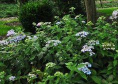 Hydrangea serrata 'Diadem'  photo 15septembre