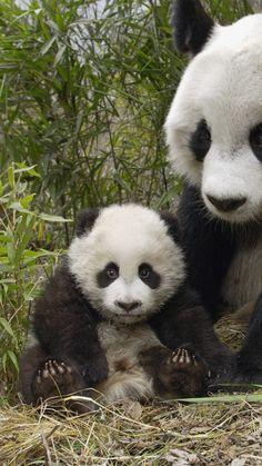 panda, couple, family, big, cub