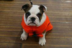 Bulldog #cani #animali #foto #flickr #Bulldog #cucciolo