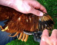 How to clip chickens wings for beginners | Permaculture Magazine