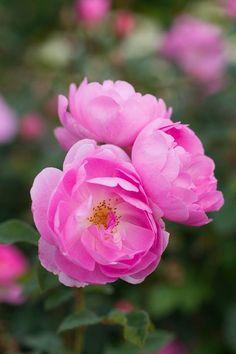skylark-rose
