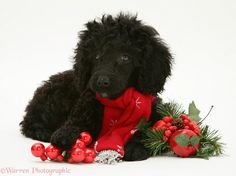 christmas | Dog: Black Miniature Poodle at Christmas photo - WP12632