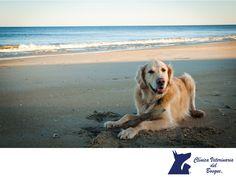 Perros en la playa. LA MEJOR CLÍNICA VETERINARIA DE MÉXICO. Los animales necesitan protegerse del sol, y existen cremas protectoras específicas para perros que debes aplicarle treinta minutos antes de salir a la playa, teniendo especial cuidado con hocico, orejas, y en general, aquellos sitios que estén menos protegidos con su pelo. En Clínica Veterinaria del Bosque te invitamos a comunicarte con nosotros al teléfono 5360 3311 para agendar una cita. #veterinariadelbosque