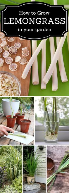 How to grow Lemongrass in a garden.