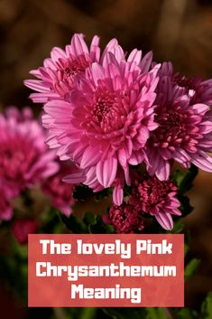 15 best chrysanthemum meaning images on pinterest in 2018 the lovely pink chrysanthemum meaning mightylinksfo
