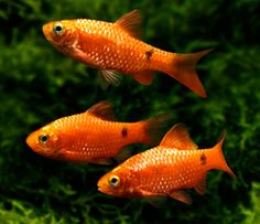 Barbs and other fish make great aquarium residents, but nothing will make them sparkle as brightly or breed as prolifically as bringing them outdoors for the summer.