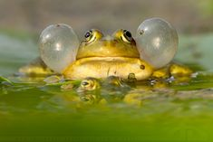 Dressed to Impress (Pool frog with inflated cheeks) by Roeselien Raimond, God with a sense of humor! Frosch Illustration, Frog Life, Funny Frogs, Life Poster, Thing 1, Frog And Toad, Reptiles And Amphibians, Natural World, Pet Birds