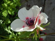 Lovely Anemone