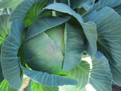 All Seasons Cabbage - ORGANIC - Heirloom Vegetable - 100 Seeds
