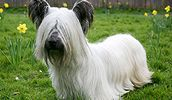 Skye Terrier is typical terriers family dog breed. Skye Terrier had long silky coat . Skye Terrier, Terriers, Tiny Dog Breeds, Dog Breeds List, Terrier Dog Breeds, Most Beautiful Dog Breeds, Beautiful Dogs, I Love Dogs, Cute Dogs