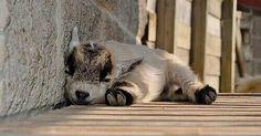 Sleeping baby goat.
