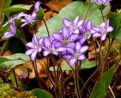 """Anemone hepatica var. japonica """"Utyuu"""", Japanische Leberblümchen"""