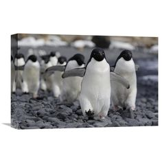 Global Gallery Adelie Penguin Group Marching to Colony Antarctic Peninsula Antarctica Wall Art - GCS-397732-1218-142