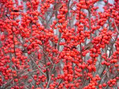 Winterberry Holly (Ilex vertillicata) is the most iconic and beautiful winter shrub you can plant in your garden.