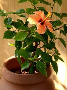 mudfingers.com - Hibiscus (Orange)
