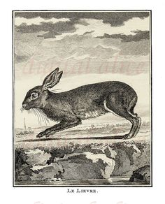 Vintage FRENCH RABBIT PRINT  Bunny Hare 1776 by DigitalAlice