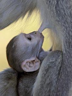 Infant Vervet Monkey Nursing  Kruger National Park, South Africa, Africa  by James Hager