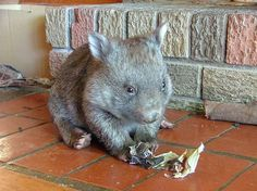 Wombats <3  my pinterest was hacked, but this is kinda cute