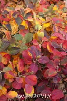 Mount Airy Fothergilla  Year round interest with beautiful fall color.  Zone 4 - 9  5' x 5'
