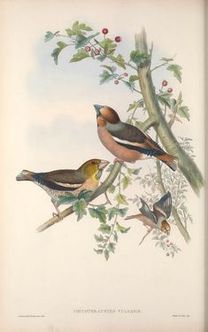 Coccothraustes Vulgaris - Hawfinch from John Gould Lithographs of Swallows, Swifts, Kingfisher, Goldfinch, Robin & Roller Vintage Bird Illustration, Butterfly Illustration, John Gould, Paisley Art, Wall Painting Decor, Flora, Funny Tattoos, Vintage Artwork, Watercolor Artwork