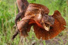 The Frill-neck lizard (Chlamydosaurus kingii), also known as the Frilled Lizard or Frilled dragon, is a type of lizard that is found mainly in northern Australia and southern New Guinea. This species is the only member of the genus Chlamydosaurus.