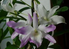 Dendrobium Orchid Info: How To Grow And Care For Dendrobium Orchids ~ via Gardeningknowhow.com