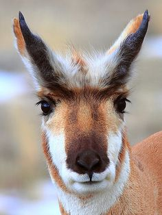 Classification: There is considerable debate surrounding the classification of pronghorns. Pronghorns are the only living member of the Family Antilocaprida. They are sometimes commonly referred to as antelope but bear NO close relation to Old World antelope which belong instead to the Family Bovidae.