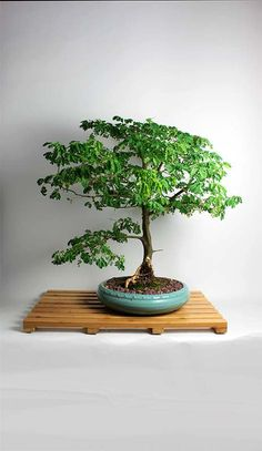 "Brazilian Raintree Bonsai ""Fall Tropical Collection by LiveBonsaiTree"" by…"