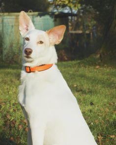 Obojek softshellový Softshell, Dog Collars, Husky, Corgi, Neon, Orange, Handmade, Animals, Corgis