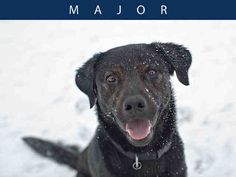 Major is a very handsome boy who loves to play! He knows his basic commands and is learning to walk nicely on leash. Major gets along great with some other dogs. He is food motivated and would love to attend obedience classes to learn some more tricks! Major has a great, friendly personality and loves people! Drop by TAS North Region to meet Major today!
