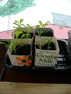 Seedlings in milk cartons