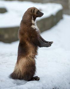 El glotón (Gulo gulo) Los pies son grandes en relación al tamaño del animal y le ayudan a moverse por la nieve profunda.