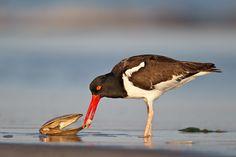 american-oystercatcher-eating-surf-clam-_y9c1140-nickerson-beach-li-ny