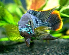 green terror fish | Green Terror, Aequidens rivulatus Species Profile, Green Terror Care ...