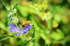 A bee lands on a purple flower with other flowers growing next to it on the stem.