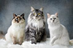 Three flavoured cats by Josephine Norman - Photo 73365131 - 500px