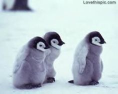 Baby Penguins cute babies winter baby snow perfect adorable cold instagram instagram pictures instagram graphics instagram pics instagram animals penguins