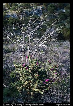 Cactus in bloom and bare tree. Guadalupe Mountains National Park, Texas
