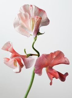 Sweet Pea Art Print by Robert Ullmann. All prints are professionally printed, packaged, and shipped within 3 - 4 business days. Choose from multiple sizes and hundreds of frame and mat options. Sweet Pea Flowers, Beautiful Flowers, Sweet Pea Bouquet, Floral Photography, My Flower, Planting Flowers, Wedding Flowers, Collage, Artwork