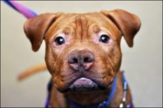 Bumble: an 11MO Pit Mix. I'm stately and I know it!