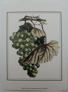 Grape Vine Wine Art Print, Vintner's Varieties I by Vision Studio | eBay $18.99