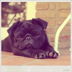 sweet black pug.  little puppy.<3 <3 HUGO