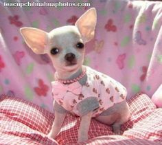 teacup chawas | Tiny Teacup Chihuahua Puppies | teacupchihuahuaphotos.com