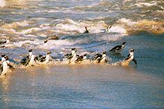 Jackass penguins @ Boulders Beach in South Africa
