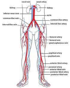 human vascular anatomy diagram hydrolysis reaction image result for arteries and veins labeled model bio circulation in the legs blood vessels ultrasound