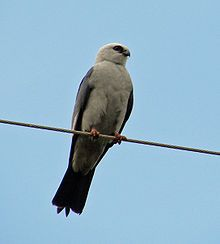 Mississippi Kite - saw these for the first time in our yard today, and there were four of them!