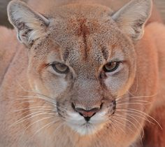 Mountain lion, puma, cougar, panther, whatever name you call these gorgeous big cats they are an endangered species in many states. Researchers at Colorado State University are pairing up with several states to study disease control for these elusive felines. One of the components of this research is how humans are effecting these animals that can travel long distances. The diseases being monitored are…
