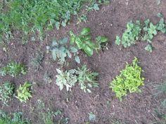 GrowDammit herbs f. Thai Cilantro